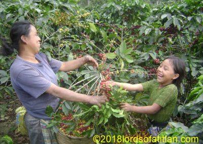 Coffee harvest,  Pampojilá